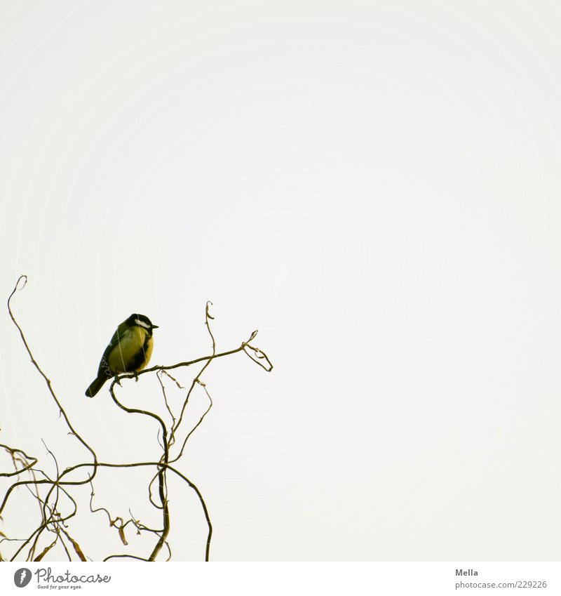 Auf dem aufsteigenden Ast Umwelt Natur Tier Geäst Weide Vogel Meisen Kohlmeise 1 hocken sitzen frei hell klein natürlich niedlich Freiheit Farbfoto mehrfarbig