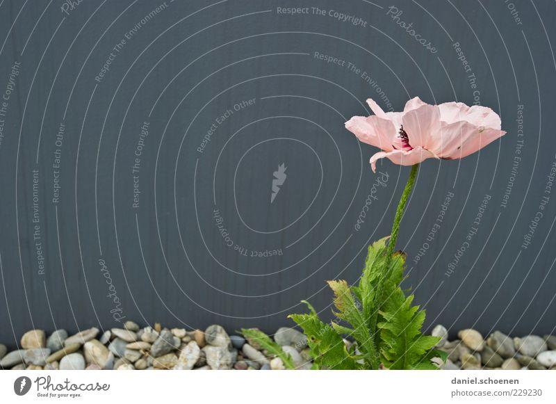 Mauerblümchen Pflanze Blume Blatt Blüte Wand Fassade grau rosa Stein Textfreiraum links Textfreiraum oben Textfreiraum Mitte Weitwinkel Blühend Kieselsteine