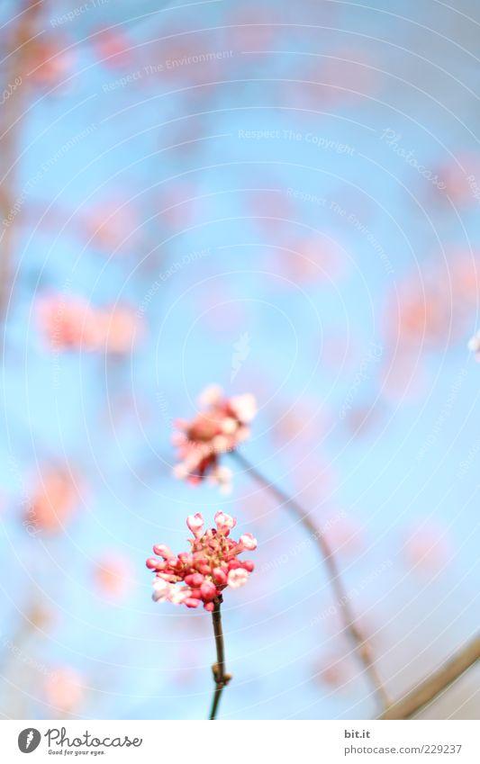 Blütentupfer Himmel Pflanze blau schön Sommer Blume Erholung Blüte Frühling Garten Feste & Feiern rosa Park Dekoration & Verzierung Geburtstag Lebensfreude