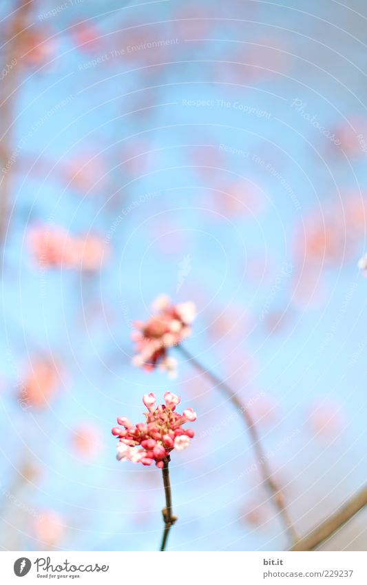 Blütentupfer Himmel Pflanze blau schön Sommer Blume Erholung Frühling Garten Feste & Feiern rosa Park Dekoration & Verzierung Geburtstag Lebensfreude