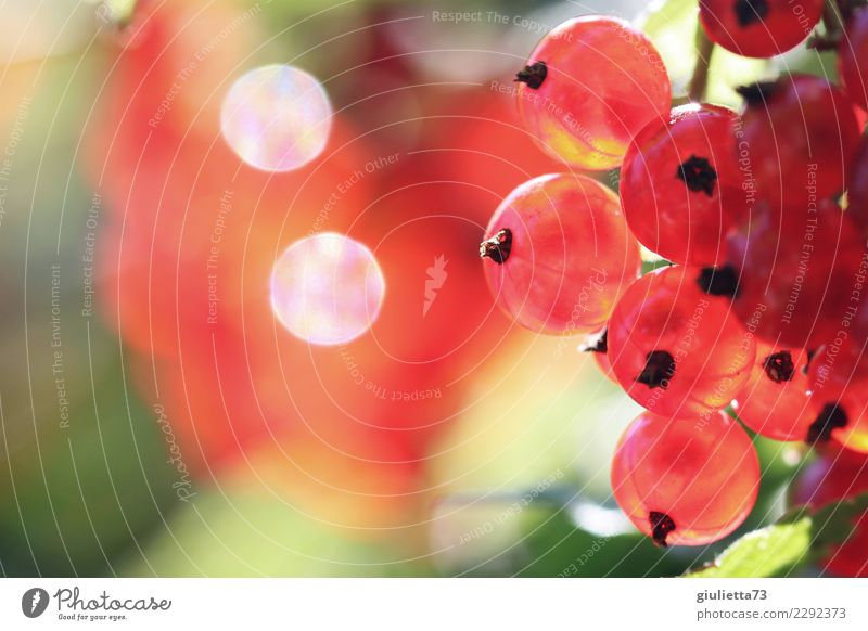 wachsen und gedeihen | saure Früchtchen Frucht Ernährung Vegetarische Ernährung Garten Natur Sommer Schönes Wetter Pflanze Sträucher Nutzpflanze Johannisbeeren