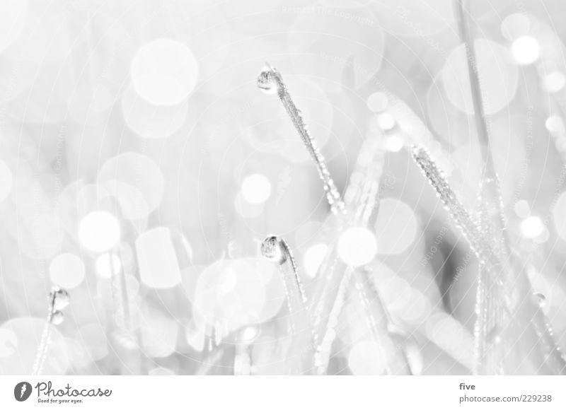 weiss Natur Wasser Wassertropfen Pflanze Wiese hell nass natürlich weiß sanft Halm klein leicht Schwarzweißfoto Außenaufnahme Nahaufnahme Detailaufnahme