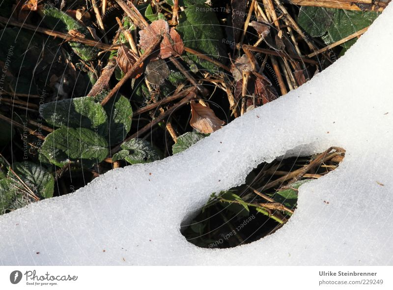 Durchbruch Natur grün weiß Pflanze Blatt Winter kalt Schnee Umwelt Frühling braun Boden Wandel & Veränderung Schönes Wetter Loch Waldboden