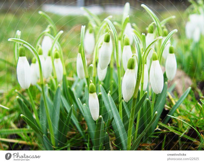 Frühlingserwachen Blume Schneeglöckchen