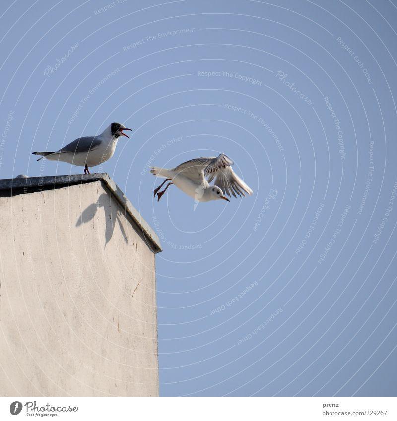 Möwen Himmel Natur blau weiß Wand grau Mauer 2 Vogel fliegen Beginn Flügel Dach Abschied Schnabel Schatten