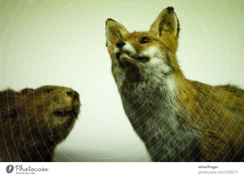 Fuchs und Biber Tier Wildtier Totes Tier 2 ästhetisch Zusammensein kuschlig braun grün weiß bizarr Erwartung Farbe Natur Nostalgie skurril Umwelt Vergangenheit