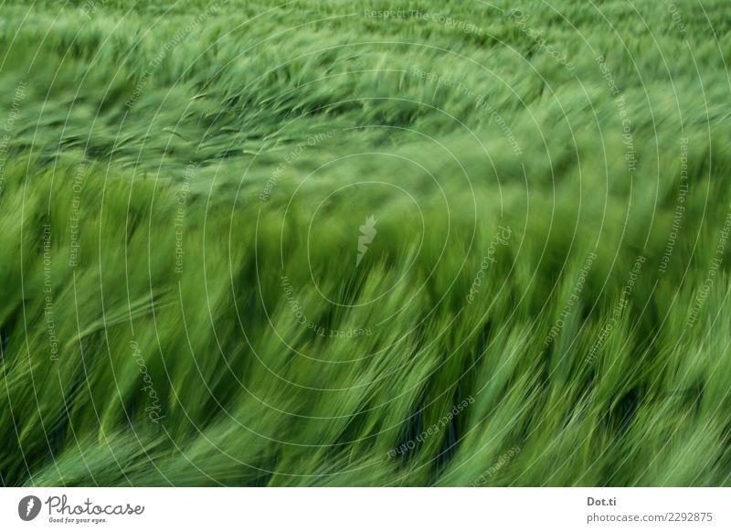 Gerste Pflanze grün Bewegung Feld Wind Landwirtschaft wehen Forstwirtschaft Nutzpflanze Gerstenfeld