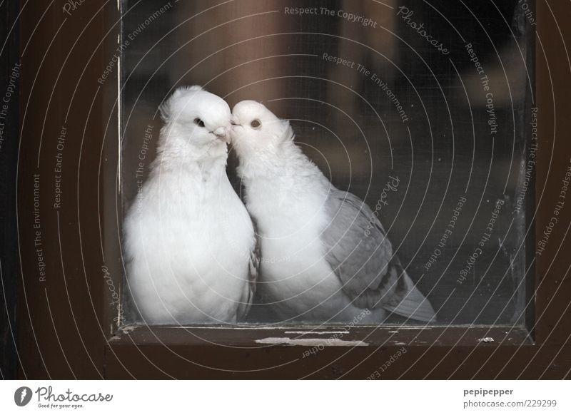 fenster love story Fenster Tier Nutztier Vogel Taube 2 Tierpaar Holz Glas Brunft berühren krabbeln Küssen Liebe sitzen träumen braun grau weiß Glück