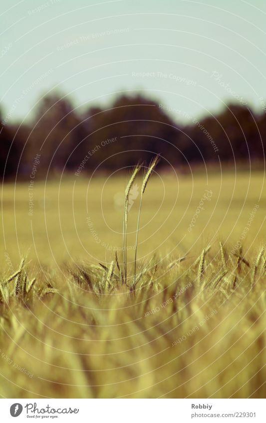 """""""Hey, siehst du irgendwo Jo?"""" Natur ruhig gelb Umwelt Lebensmittel Feld Kraft Wachstum Neugier Getreide Halm Fernweh Bioprodukte Ähren Ernährung"""
