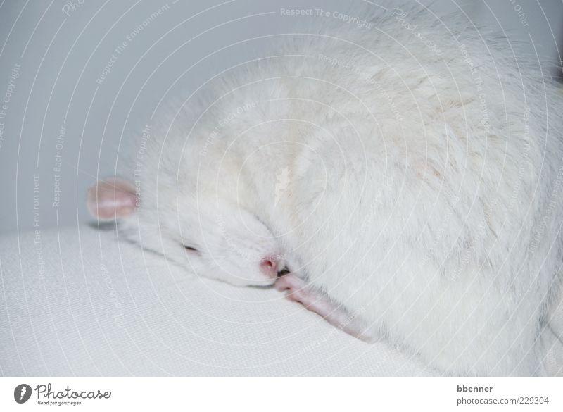 Luca Wohlgefühl Zufriedenheit Erholung ruhig Sofa weißhaarig kurzhaarig Haustier Fell Pfote Ratte 1 Tier schlafen niedlich Sauberkeit weich Vertrauen