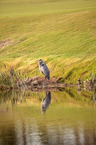 Graureihervogel, Ardea Herodias Mann Erholung Tier Erwachsene Küste See Vogel wild Wildtier USA Flügel Sumpf Prima Zen Reiher Florida