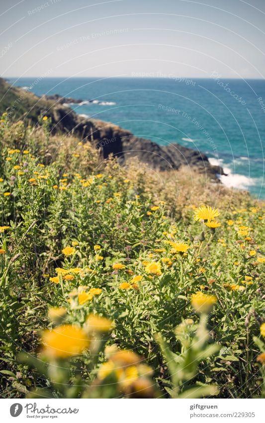 blumenmeer Umwelt Natur Landschaft Pflanze Urelemente Wasser Himmel Wolkenloser Himmel Horizont Sonne Sommer Blume Gras Blatt Blüte Wiese Felsen Wellen Küste