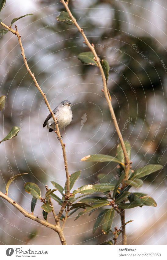 Grauer Catbird Dumetella carolinensis Natur Tier Pflanze Baum Wald Wildtier Vogel 1 wild blau grau grün Grauer Katzenvogel graue Katzenvogel Katzendrossel