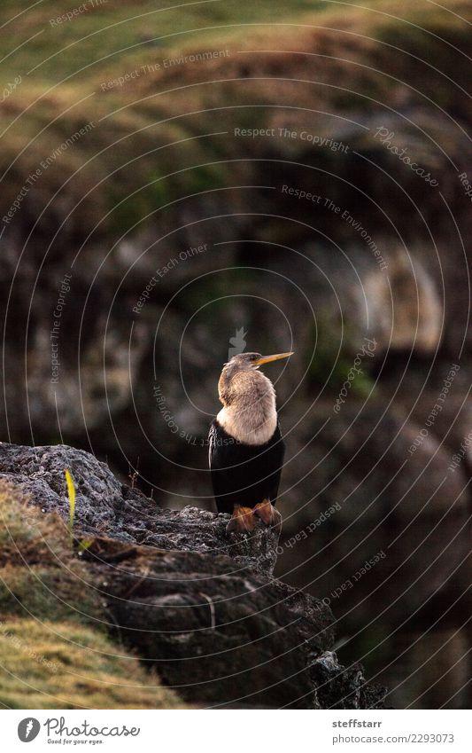 Männlicher Anhingavogel nannte Anhinga anhinga Mann Erwachsene Natur Tier Küste Teich See Fluss Vogel 1 sitzen Nest Nestbau Anhinga anhinga anhinga