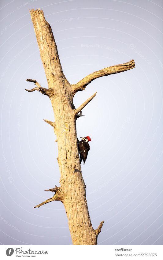Männlicher pileated Spechtvogel Dryocopus pileatus Mann Erwachsene Natur Baum Tier Vogel 1 rot schwarz Stapelspecht Nest Golfloch Zypressenbaum