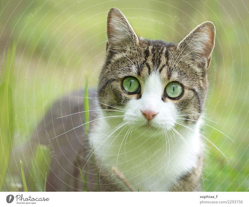 Katzenportrait in Wiese, verschwommener grüner Hintergrund Porträt Gras heimisch Feld Nahaufnahme Haustier Garten bezaubernd Erwachsener Tier niedlich Auge