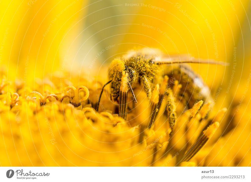 Biene bestäubt Pollen und sammelt Nektar auf Natur Sonnenblume Pflanze Sommer schön grün Blume Tier Freude Wärme gelb Umwelt Herbst Blüte Gesundheit Liebe