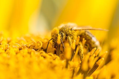 Biene bestäubt Pollen und sammelt Nektar auf Natur Sonnenblume Sommer Sonnenbad Körper Kopf Umwelt Tier Sonnenlicht Frühling Herbst Klima Klimawandel Wetter