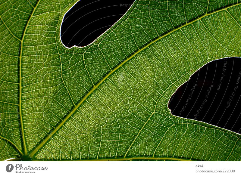 Das Blatt 34 Natur Pflanze grün schwarz Feigenblatt Strukturen & Formen Farbfoto Studioaufnahme Detailaufnahme Blitzlichtaufnahme Blattadern Blattgrün