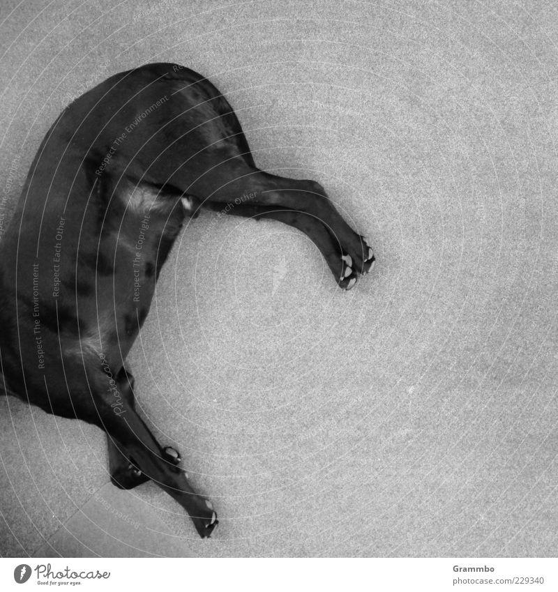 Schiefliegen Tier Haustier Hund 1 grau schwarz Schieflage Schwarzweißfoto Innenaufnahme Textfreiraum rechts Textfreiraum unten Hintergrund neutral