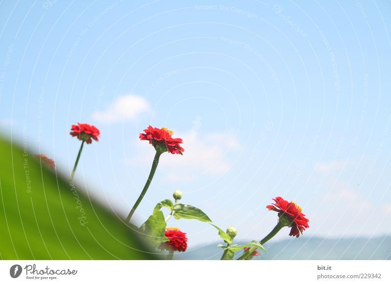 Kuck-kucks aus dem Frühling Pflanze Himmel Wolkenloser Himmel Sommer Schönes Wetter Blume Blatt Blüte exotisch Blumenstrauß Blühend Duft rot Lebensfreude