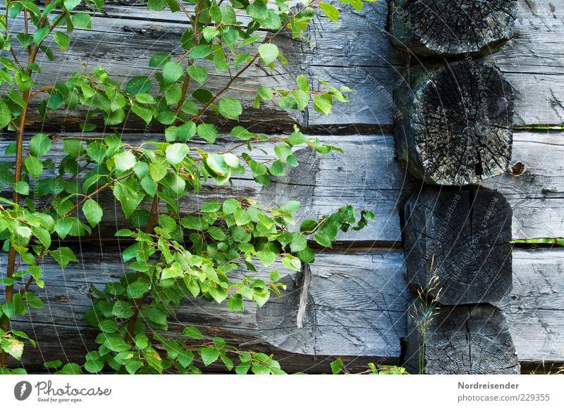 Frei von Zusatzstoffen Natur Pflanze Hütte Holz Wachstum alt nachhaltig natürlich trocken grün Einsamkeit Holzhaus Birke Farbfoto Gedeckte Farben Außenaufnahme