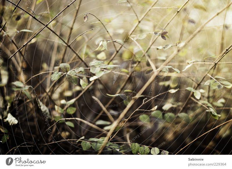 G'strüpp. Natur grün Pflanze Blatt gelb Garten braun Sträucher Stengel Halm Textfreiraum Hecke Grünpflanze rebellisch Zweige u. Äste bewachsen
