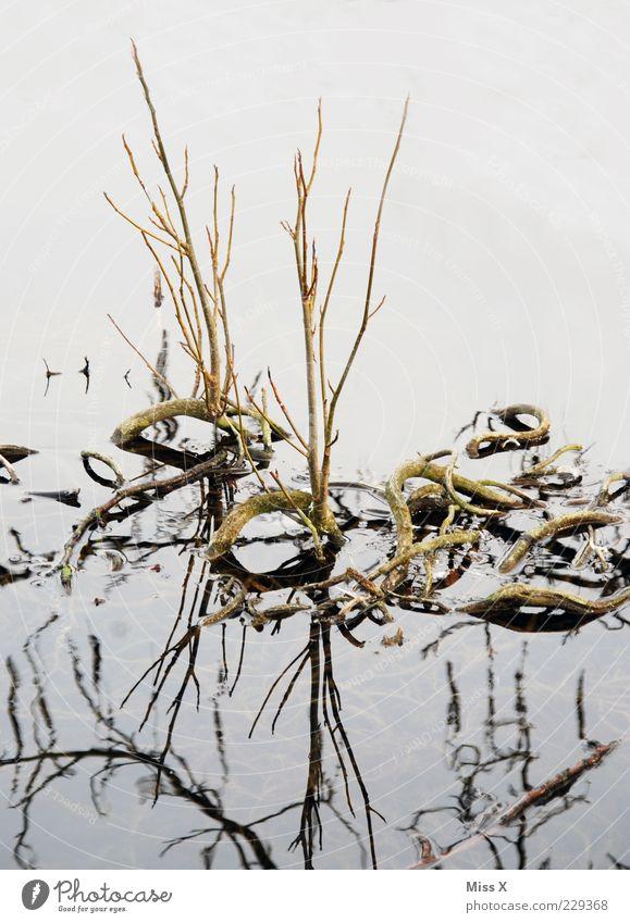 Schlangen Wasser Pflanze Winter See Wachstum Ast Stengel Seeufer Teich Wasseroberfläche Trieb Wurzel gekrümmt Gewässer Sumpf biegen