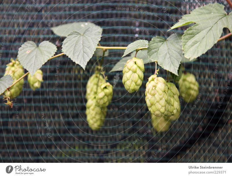 Gott erhalt's! Natur grün Pflanze Umwelt Frucht Wachstum reif hängen Hopfen Kletterpflanzen Nutzpflanze Reinheitsgebot