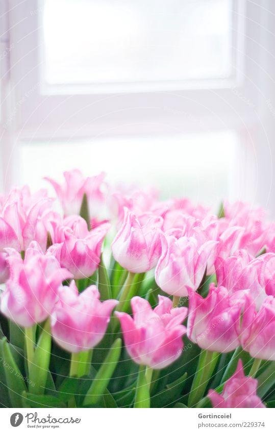 Willkommen grün Blume Blatt Fenster Blüte Glück Frühling rosa frisch Fröhlichkeit zart Stengel Blumenstrauß Tulpe Lichteinfall Frühlingsblume