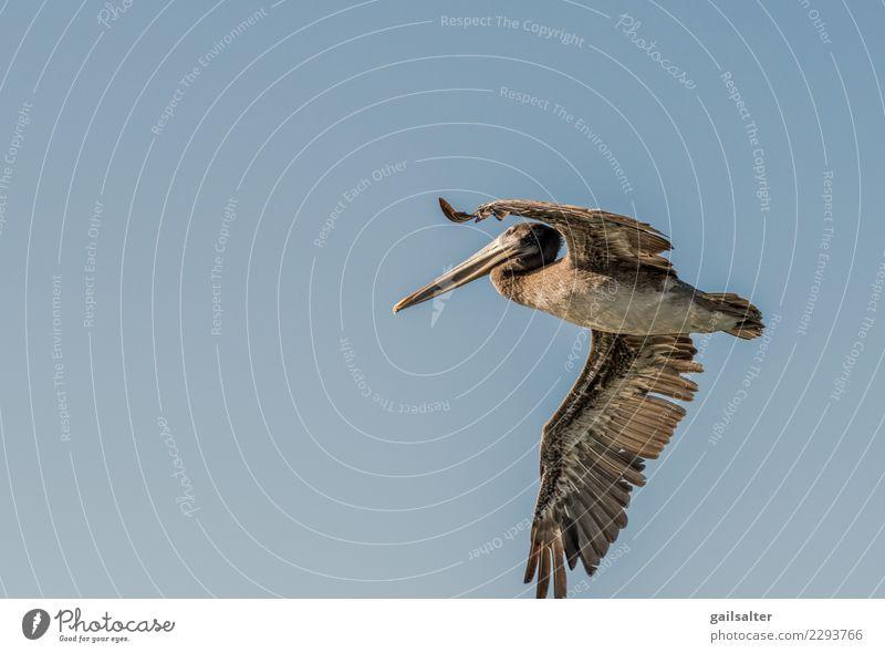 Brown Pelican Flying in einem blauen Himmel hautnah Natur Wolkenloser Himmel Sommer Tier Wildtier Vogel Brauner Pelikan 1 Bewegung fliegen groß braun