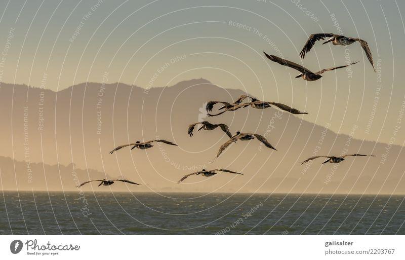 Eine fliegende Herde von Brown Pelikanen in der Dämmerung Natur Landschaft Tier Wasser Himmel Sommer Hügel Wellen Küste Wildtier Vogel Tiergruppe Schwarm