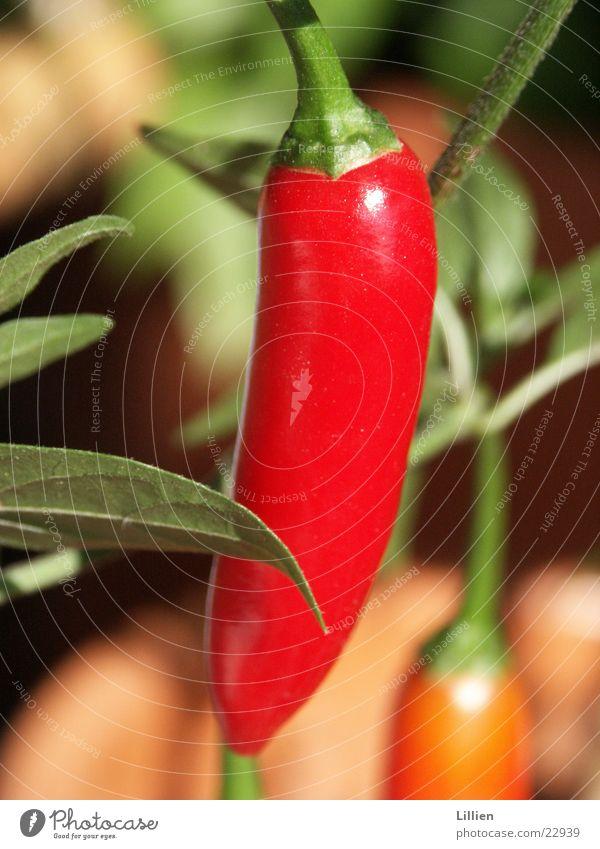 Pepperoni rot Ernährung Kochen & Garen & Backen Scharfer Geschmack Paprika Lebensmittel Gemüse