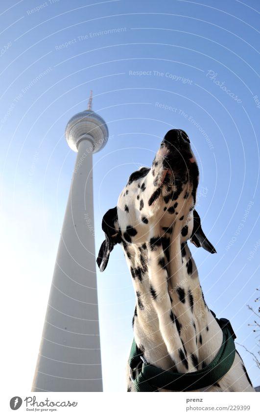 Dalmatiner Himmel Hund weiß Tier schwarz Ferne Berlin Kopf hoch Perspektive Turm Ohr dünn Schönes Wetter Berlin-Mitte Haustier