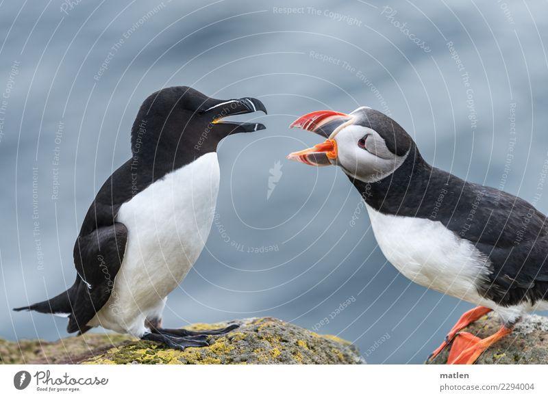 Migrationsdruck Tier Wildtier Vogel 2 Konflikt & Streit nah blau braun gelb orange rot schwarz weiß Stress Feindseligkeit Aggression Disput Papageitaucher