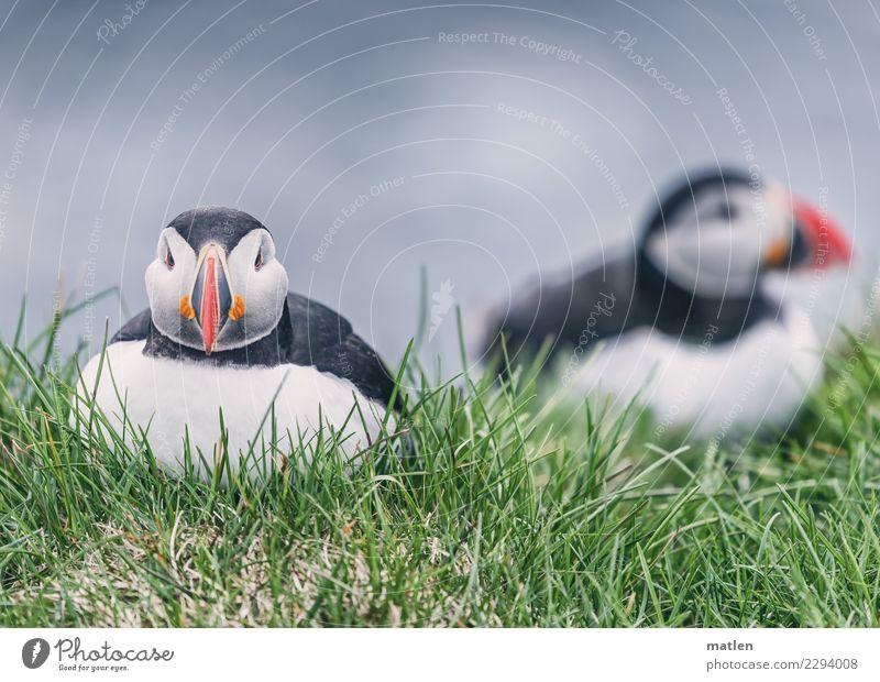 Aussitzen Gras Fjord Tier Wildtier Vogel 2 niedlich blau grün rot schwarz weiß Papageitaucher Klippe Farbfoto Außenaufnahme Nahaufnahme Menschenleer