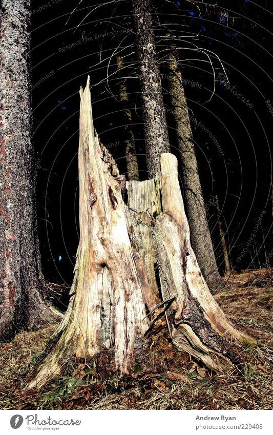Broken Umwelt Natur Pflanze Baum Wald einfach Baumstamm Holz gebrochen Totholz Farbfoto Außenaufnahme Menschenleer Tag Licht Froschperspektive Umweltschutz