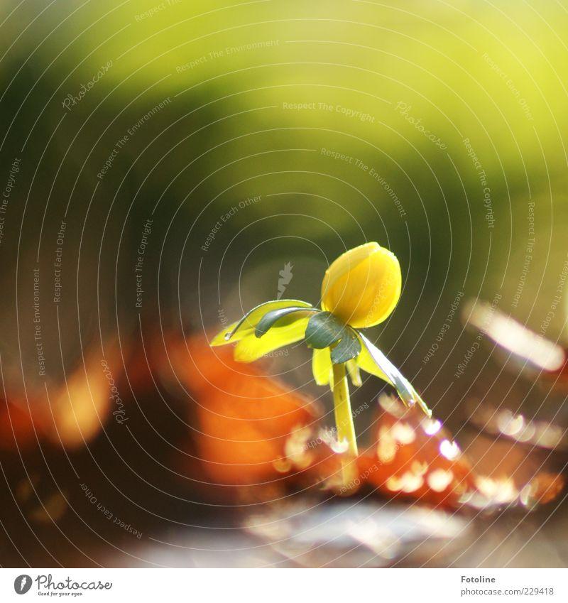 Einsamkeit // Mit Ausdauer den Winter in die Flucht schlagen Natur grün Pflanze Blume Blatt gelb Umwelt Blüte Frühling hell braun natürlich Urelemente Blühend