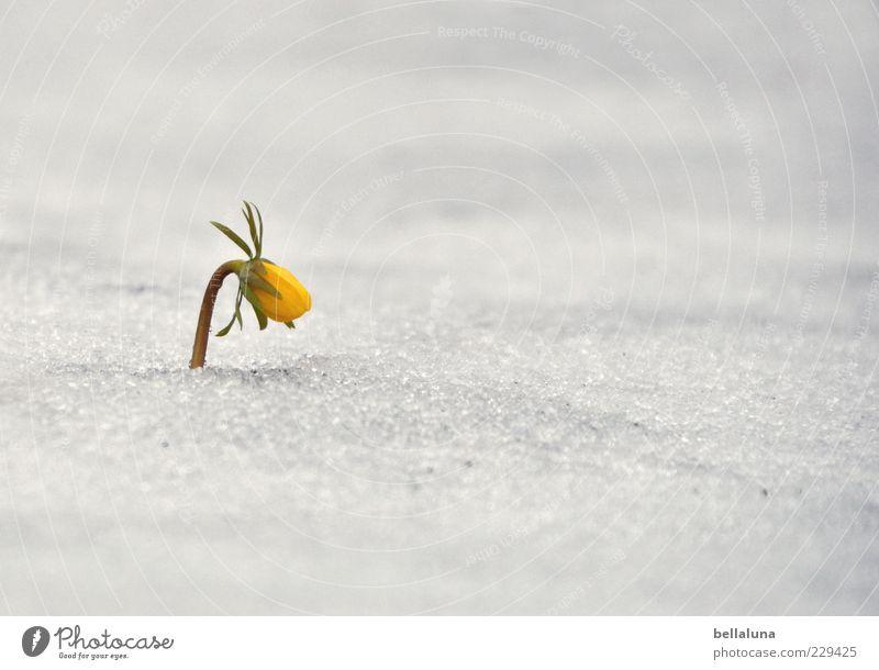 Einsamkeit // Trotz Natur Pflanze Frühling Wetter Eis Frost Schnee Blume Blüte Wildpflanze hell schön gelb weiß Frühblüher Winterlinge trotzig Farbfoto