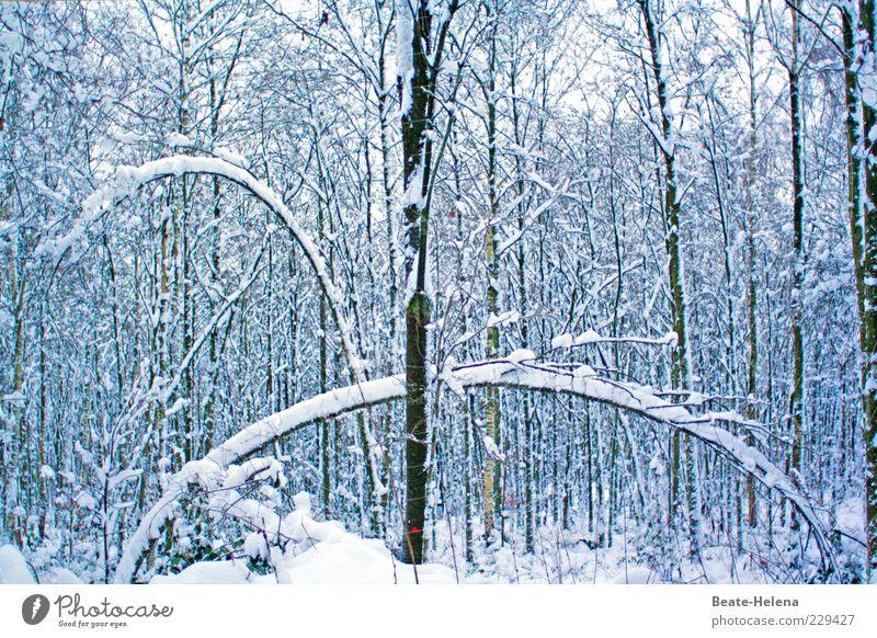 Fantastisch elastisch - auch bei frostigem Wetter Natur weiß Baum Pflanze Winter Wald Schnee braun Eis ästhetisch Wachstum Frost Ast dünn Spannung
