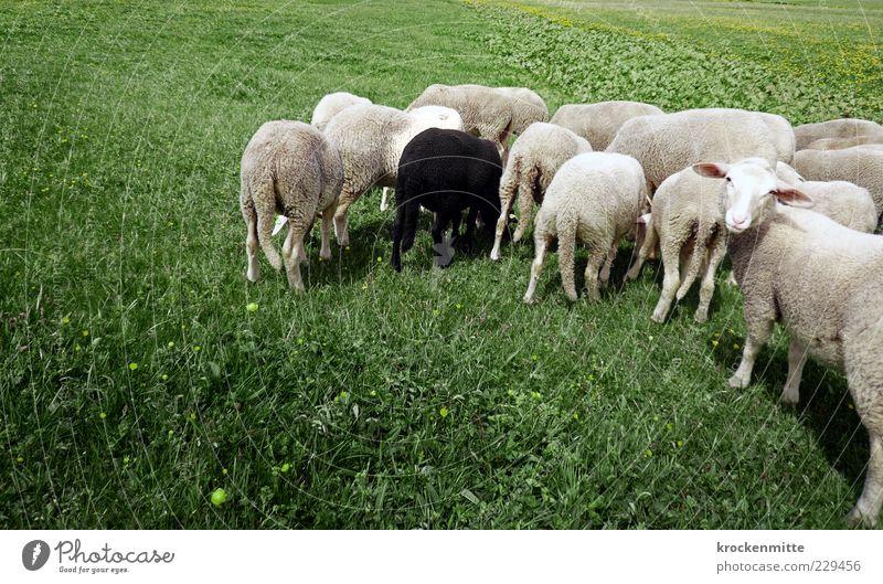 genug Gras für alle Natur grün weiß schwarz Tier Wiese Umwelt Landschaft Gras außergewöhnlich einzigartig Tiergruppe Idylle Zeichen Schaf Geborgenheit