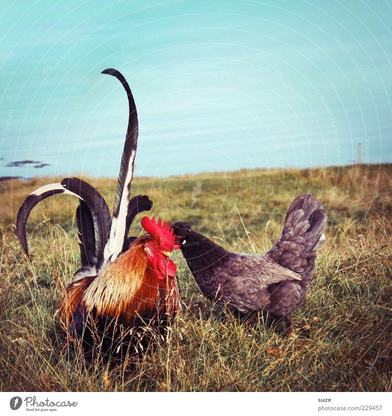 Haste schon gehört ... Natur Sommer rot Tier Umwelt Wiese Gras See natürlich Tierpaar frei Feder Schönes Wetter Seeufer Landwirtschaft Bauernhof