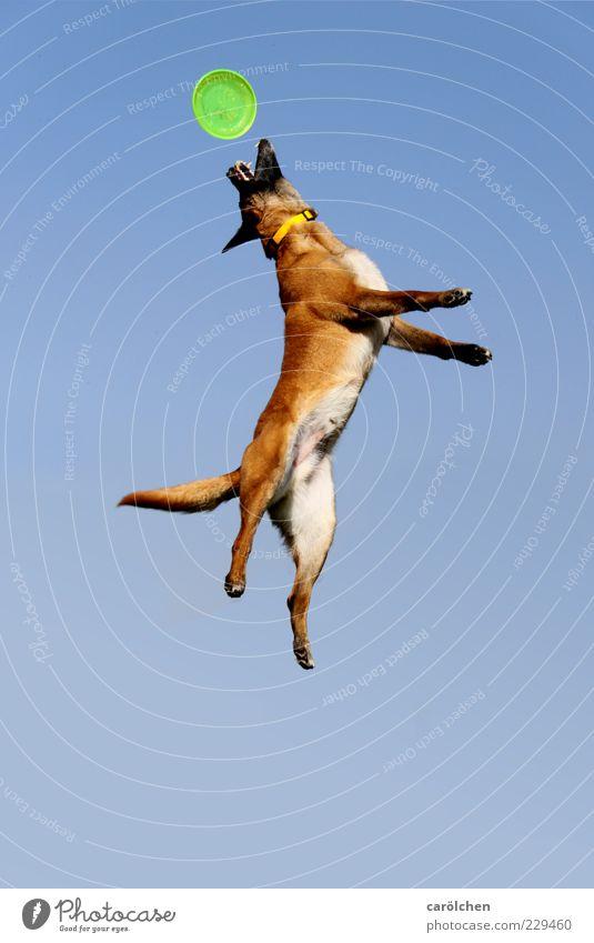 Einsame Spitze Tier Haustier Hund 1 Spielen springen blau braun Frisbee Hundespielzeug Aktion Gesundheit Fitness Dynamik Körperspannung Farbfoto Außenaufnahme