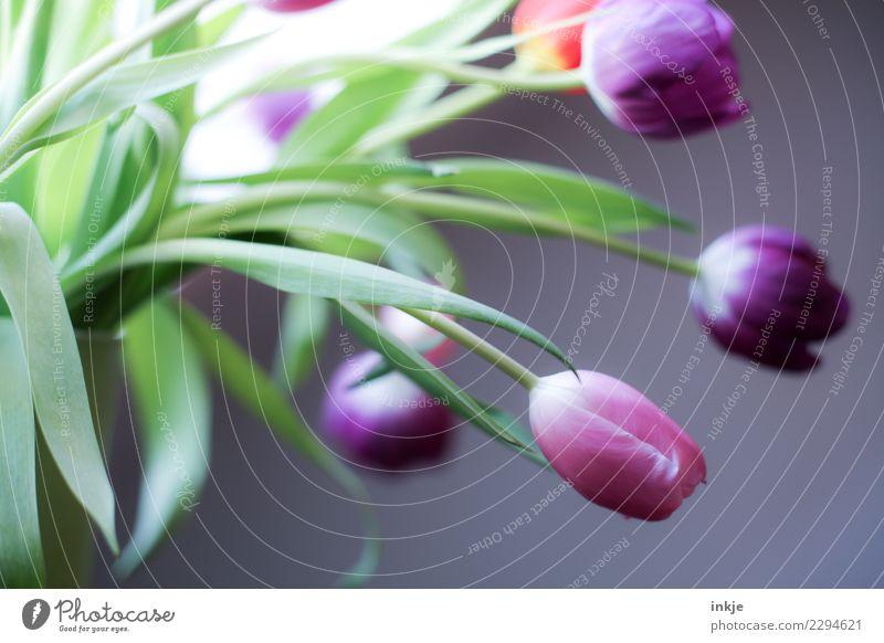 ein Tulpenbild Frühling Blüte Blumenstrauß Blühend authentisch frisch natürlich grün violett rosa Stimmung Frühlingsblume Farbfoto Innenaufnahme Nahaufnahme Tag