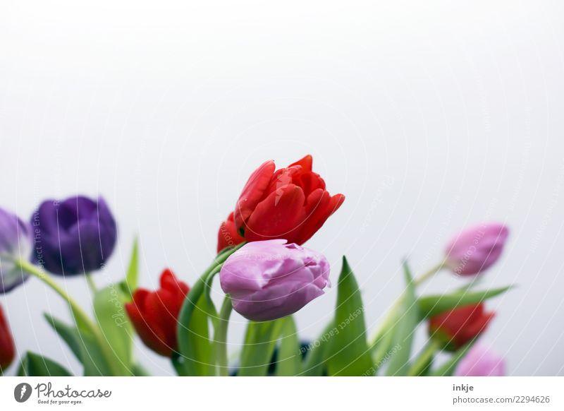 ein Tulpenbild Frühling Blume Blüte Blumenstrauß Blühend authentisch frisch natürlich grün violett rosa rot Stimmung Freiraum Frühlingsblume Frühlingsgefühle