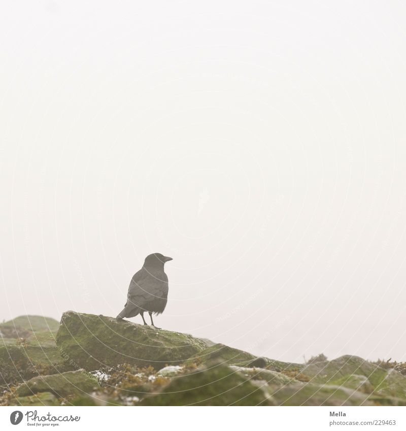 Warten Natur ruhig Tier Umwelt grau Stein Vogel Nebel Felsen frei natürlich stehen trist Dunst Material Krähe