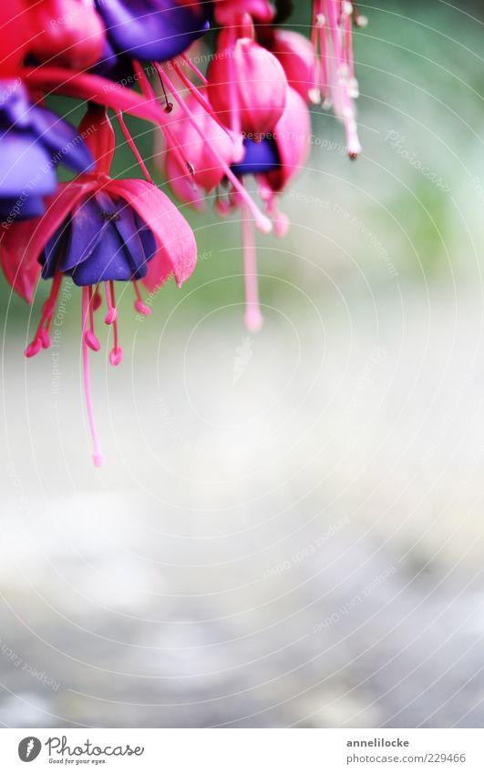 Fuchsia Pflanze Blüte Topfpflanze Fuchsie Fuchsienblüten Blühend schön violett rosa exotisch Farbfoto Nahaufnahme Detailaufnahme Menschenleer Tag