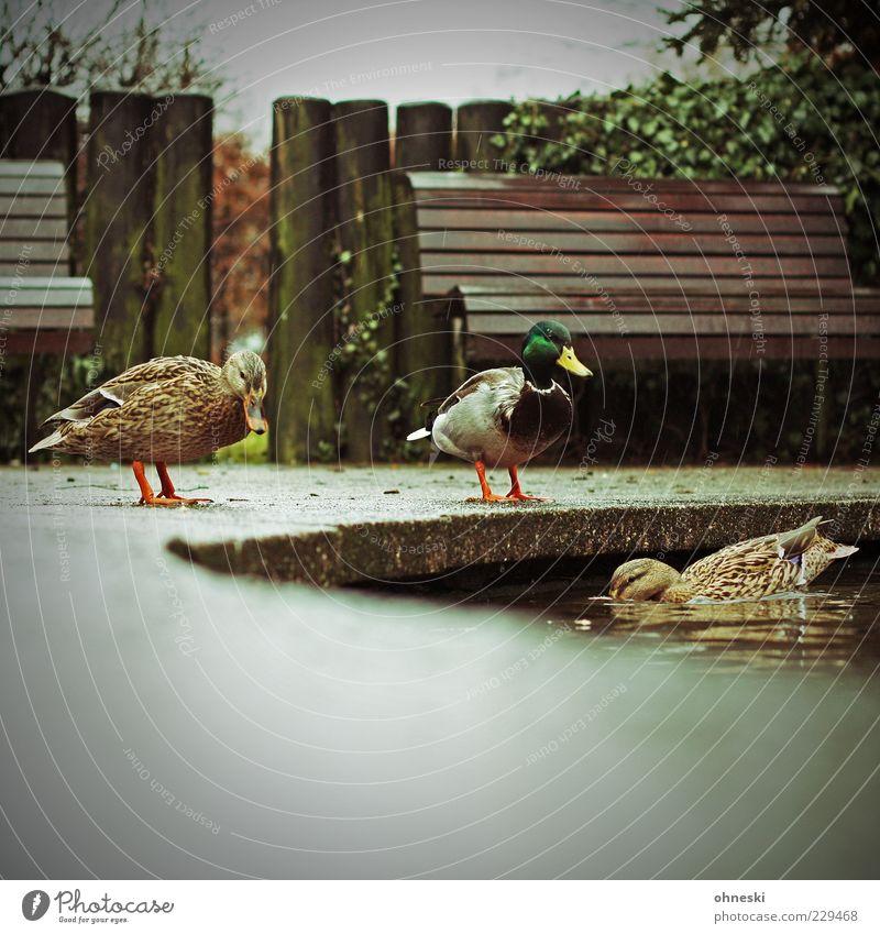 Ente gut, alles gut Wasser Teich Park Tier Stockente 3 Tiergruppe nass Bank Farbfoto Textfreiraum unten Schwache Tiefenschärfe Tierporträt Wasserspiegelung