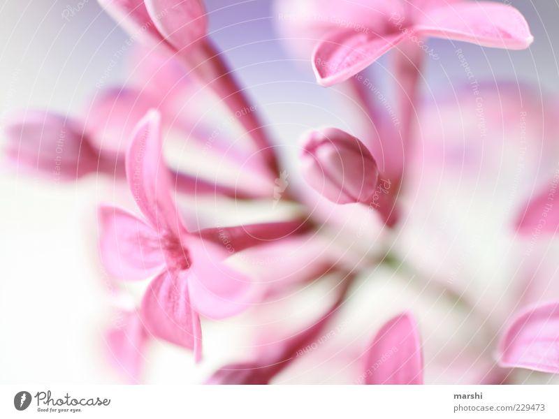 ein Hauch Frühling Natur Pflanze Blüte rosa Blume Blühend Blütenknospen Fliederbusch Unschärfe Makroaufnahme Blütenstiel Blütenkelch Frühlingsblume