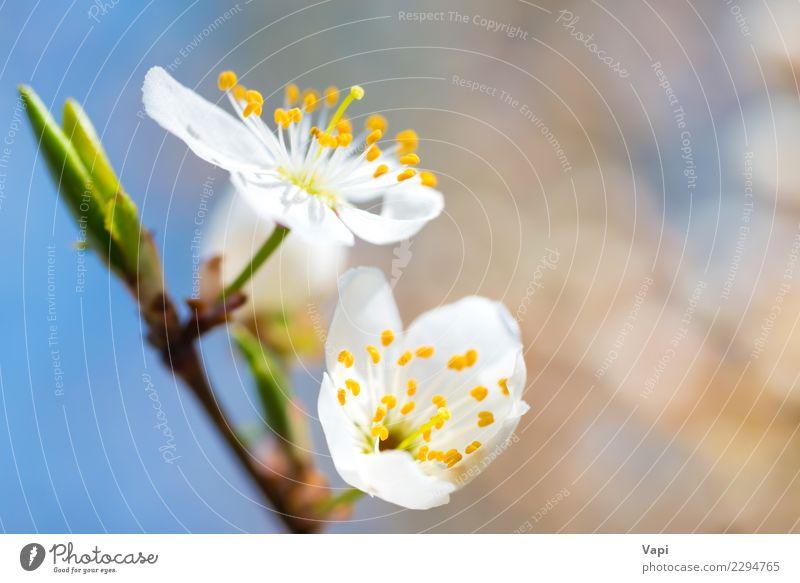Blühender weißer Frühling des Frühlinges blüht auf einem Pflaumenbaum Himmel Natur Pflanze blau schön grün Baum Blume Blatt gelb Umwelt Blüte natürlich Garten